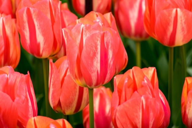 Colpo del primo piano dei fiori del tulipano nel campo in una giornata di sole - perfetto per lo sfondo Foto Gratuite