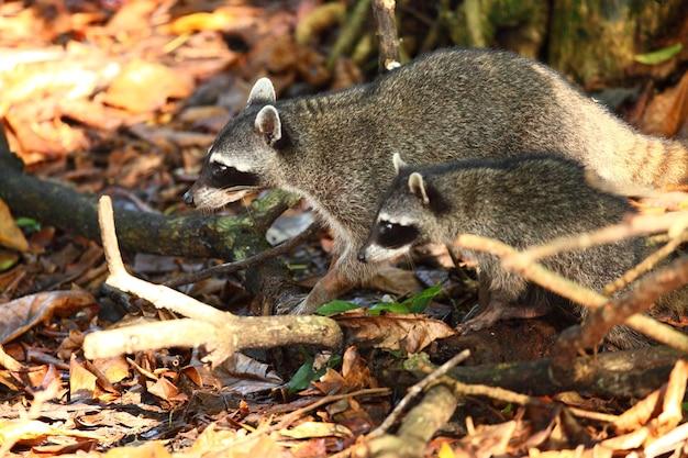Colpo del primo piano di due procioni alla ricerca di cibo sul suolo della foresta Foto Gratuite