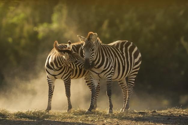 Closeup shot of two zebras cuddling Free Photo