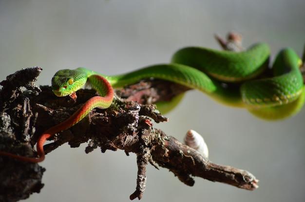 Inquadratura del primo piano di una vipera velenosa dalle labbra bianche, nota anche come trimeresurus albolabris in latino Foto Gratuite
