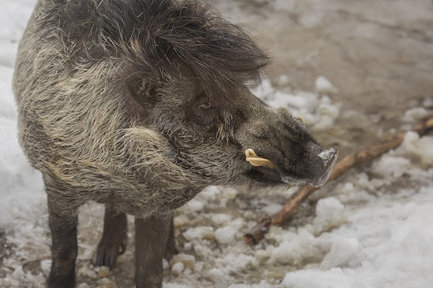 Closeup shot of a warthog standing on the snowy ground with a blurred Free Photo