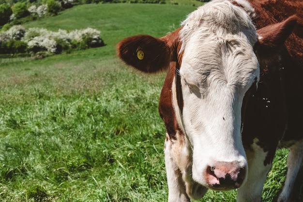 Colpo del primo piano di una mucca bianca e marrone che pascola sul pascolo durante il giorno Foto Gratuite