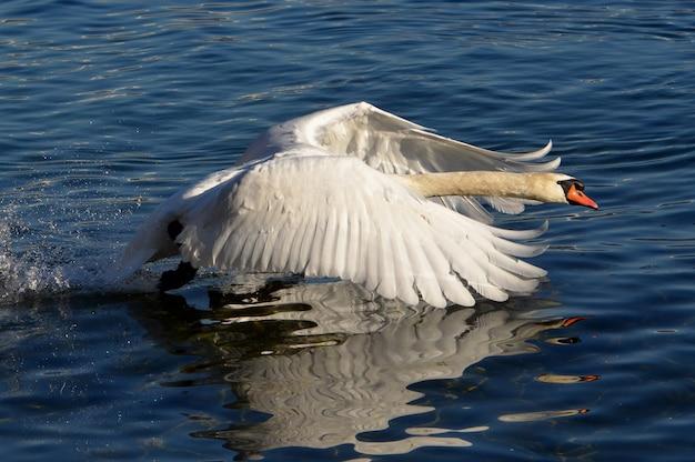 Colpo del primo piano di un cigno bianco che nuota nel lago con le ali sollevate Foto Gratuite