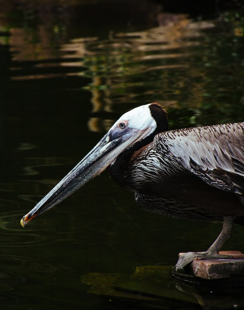 Closeup shot of a wild pelican sitting on a wooden plank and drinking water from the lake Free Photo
