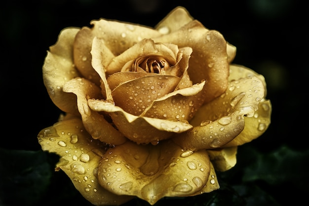 Closeup shot of a yellow rose covered with dewdrops Free Photo