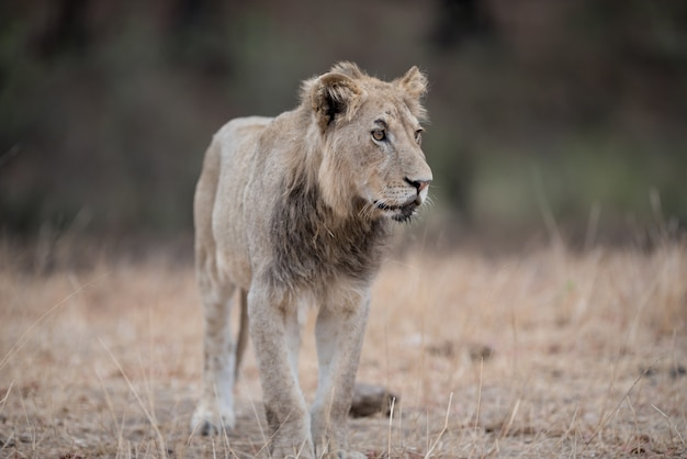 Colpo del primo piano di un giovane leone maschio che cammina sul campo del cespuglio Foto Gratuite