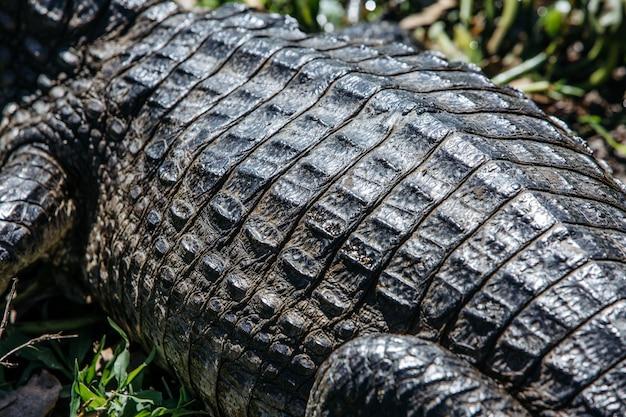 Primo piano della pelle di un coccodrillo americano circondato dal verde sotto la luce del sole Foto Gratuite