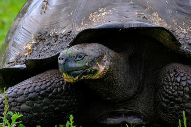 Primo piano di una tartaruga di schiocco su un campo erboso Foto Gratuite