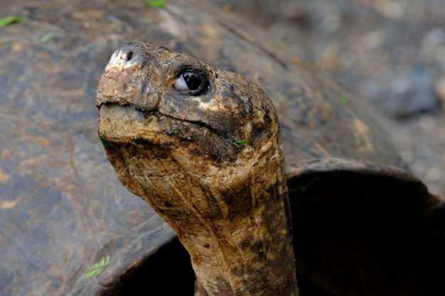 Primo piano di una testa di schiocco della tartaruga che esamina la macchina fotografica con fondo vago Foto Gratuite