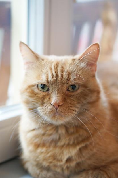 Primo piano soft focus colpo di un gatto dai capelli rossi seduto da una finestra Foto Gratuite