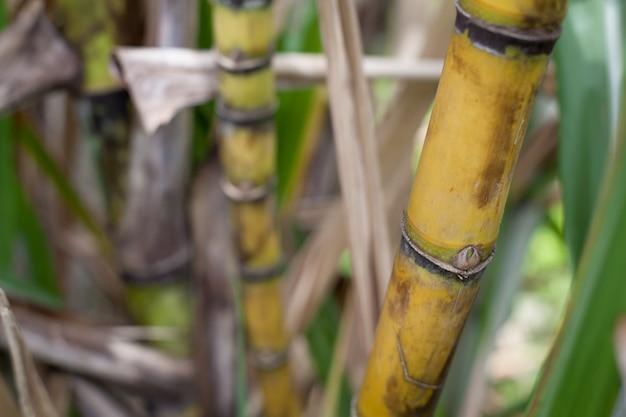 Closeup of sugar cane plantation Premium Photo