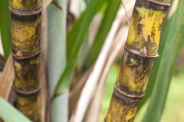 Closeup of sugar cane plantation Premium Photo
