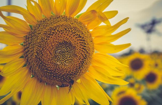 Closeup sunflower Free Photo