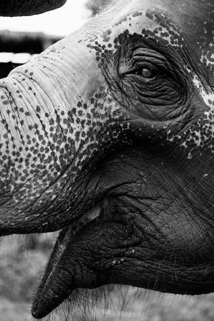 Closeup of a thai elephant Free Photo