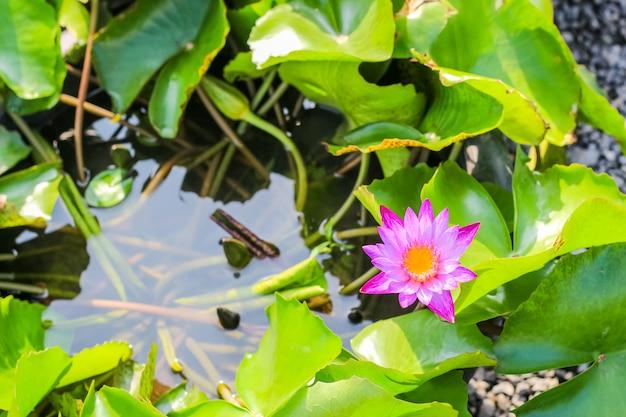 クローズアップトップビューシングルシンプルなカラフルな美しいピンクパープルロータス Premium写真