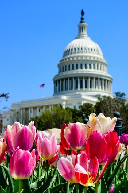 Primo piano dei tulipani sotto la luce del sole con il campidoglio degli stati uniti sullo sfondo sfocato Foto Gratuite