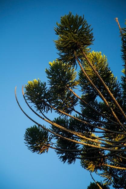 Closeup of upper part of araucaria angustifolia ( brazilian pine) with sky background, campos do jordao, brazil. Premium Photo