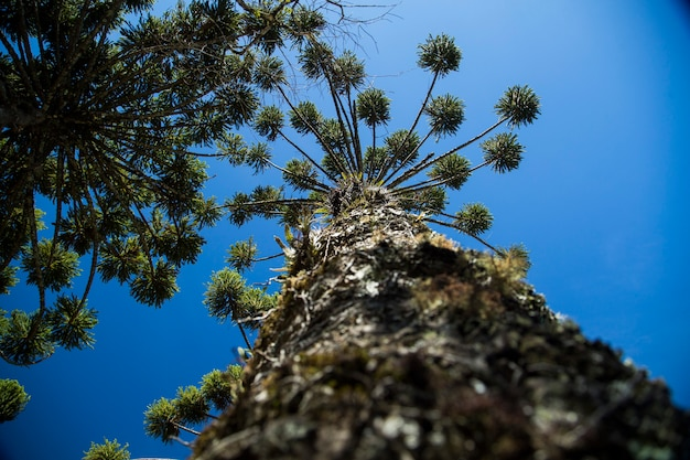 Closeup of upper part of araucaria angustifolia ( brazilian pine) with sky and clouds background, campos do jordao, brazil. Premium Photo