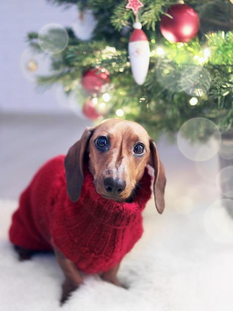 クリスマスツリーの近くの休日の衣装で長耳のダックスフントのクローズアップ垂直ショット 無料写真
