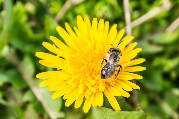 Vista del primo piano di una mosca su un bel fiore giallo del dente di leone su uno sfondo sfocato Foto Gratuite