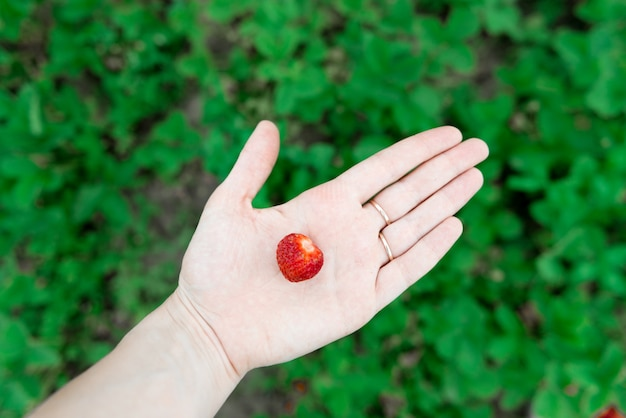 Closeup view of hands holding fresh strawberry collected in the organic Premium Photo