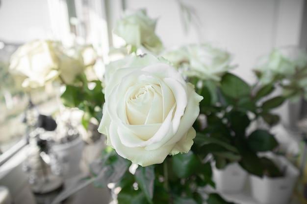 배경 흐리게와 흰 장미의 근접 촬영보기 무료 사진