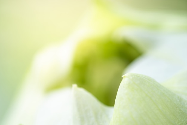 Closeup of white petal of lotus using for background and texture. Premium Photo