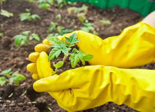 Closeup of woman's hands in yellow gloves planting a seedling in ground. Premium Photo