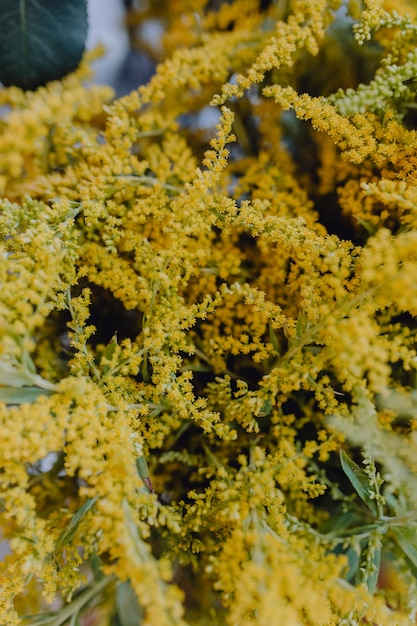 Closeup Of Yellow Mimosa Flowers Photo Premium Download