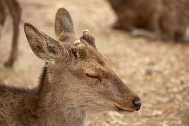 Closeup of a young deer with cut antlers Free Photo