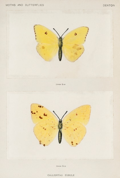 Cloudless sulphur (callidryas eubule) from moths and butterflies of the united states Free Photo