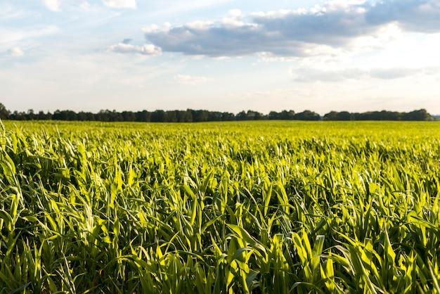 夕日にトウモロコシ畑と曇り空 Premium写真