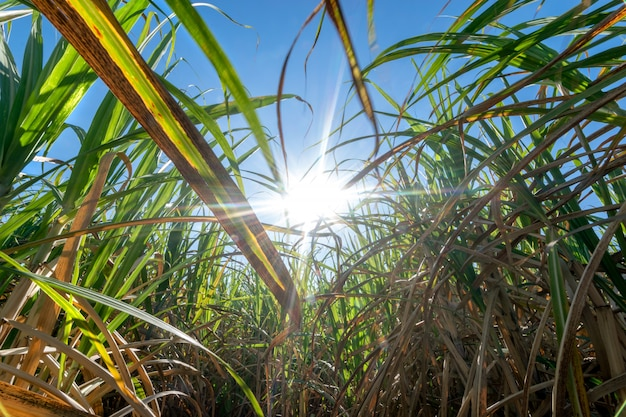 Clouse up sugar cane field with blue sky and  sun rays nature background. Premium Photo