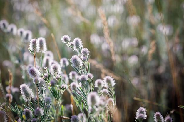 Клевер trifolium arvense на рассвете Premium Фотографии