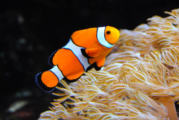 Clown anemonefish, amphiprion, swimming among the tentacles of its anemone home Premium Photo