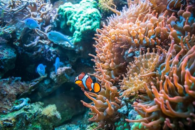コーラルダンカンの近くで泳ぐカクレクマノミとブルーマラウイのシクリッド 無料写真