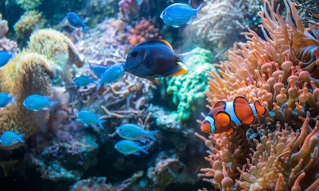 コーラルダンカンの近くを泳ぐカクレクマノミctenochaetustominiensisとブルーマラウイシクリッド 無料写真