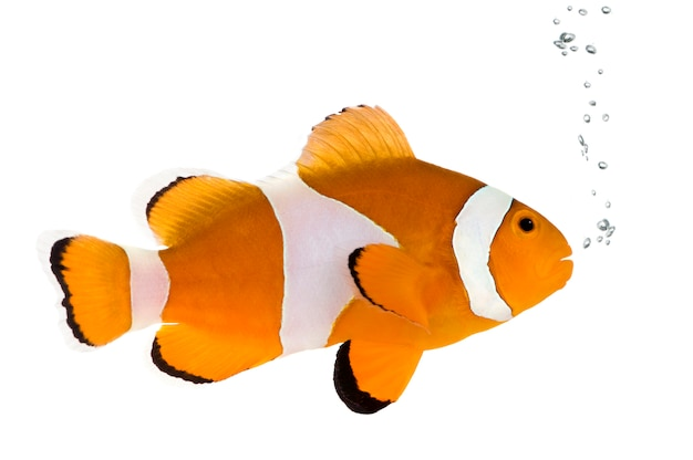 Clownfish in front on a white wall Premium Photo