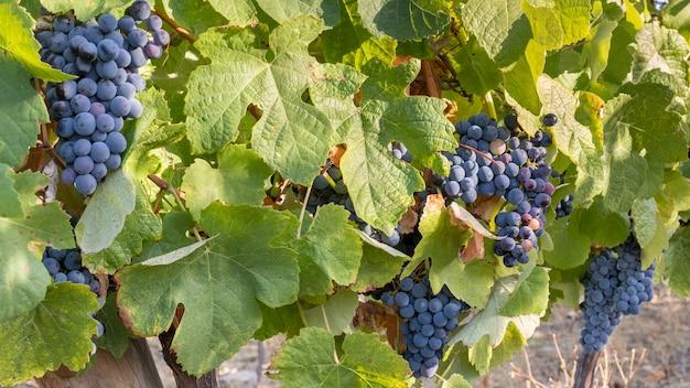 ブドウの房が収穫とワイン造りのためにクローズアップ Premium写真