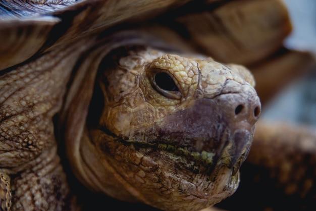 Coahuilan box turtle in the tropic garden. terrapene coahuila. animals Premium Photo