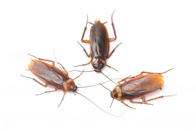 Cockroach isolated white background Premium Photo