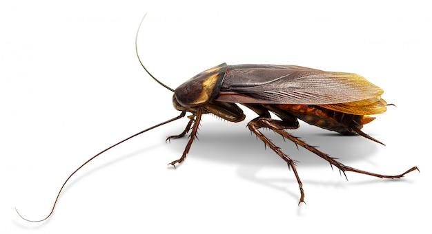 Cockroach isolated on white Premium Photo
