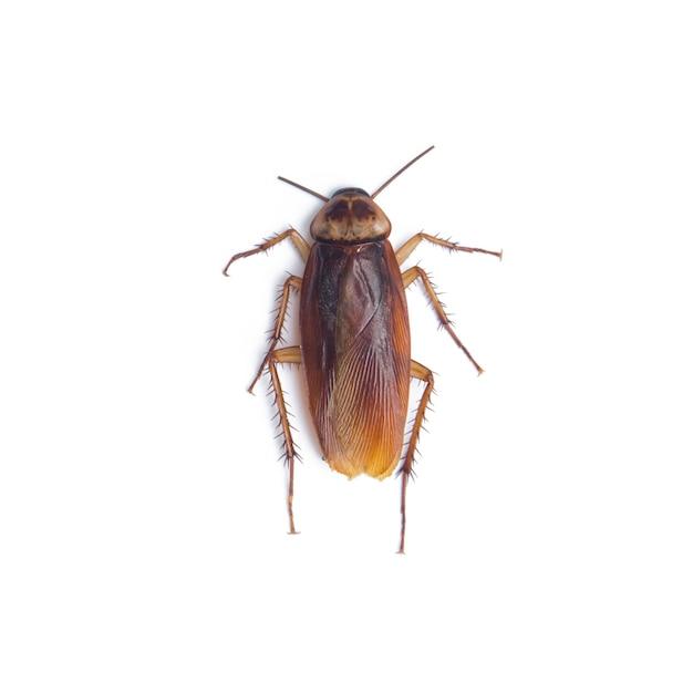 Cockroach isolated white Premium Photo