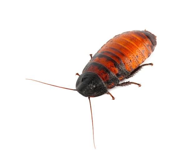 Cockroach madagascar hissing isolated on white Premium Photo