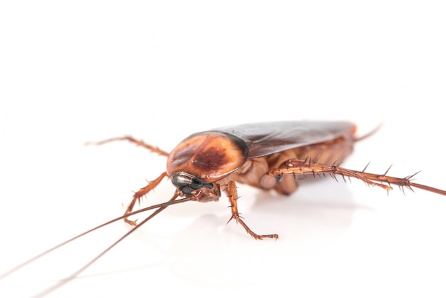 Cockroach on white background Free Photo