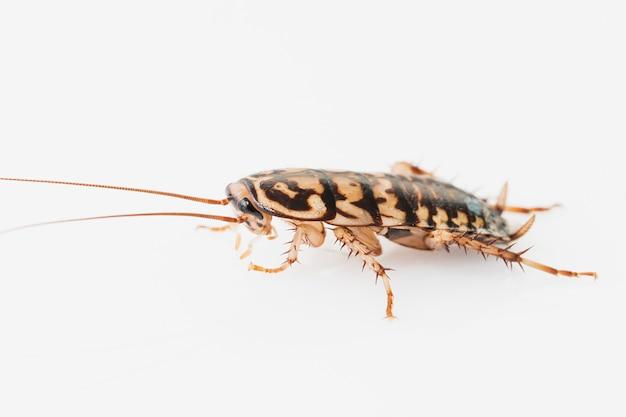 Cockroach on white background Premium Photo