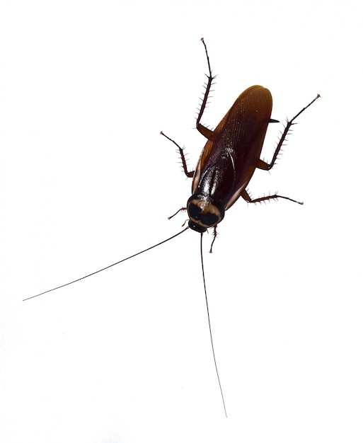 Cockroaches are on a completely separate white background. Premium Photo