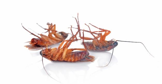 Cockroachs  on a white background Premium Photo