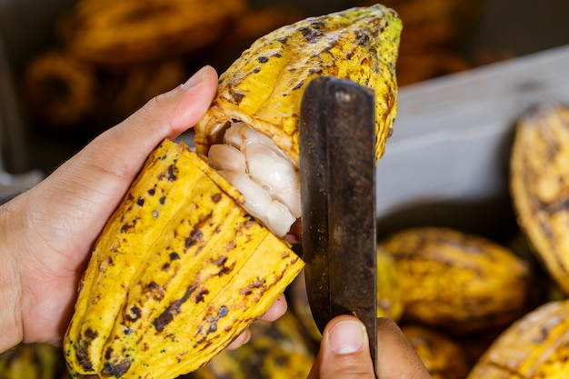 Cocoa beans and cocoa pod on a wooden surface. Premium Photo