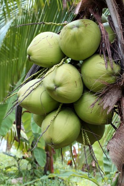 Coconut fruit tree Premium Photo